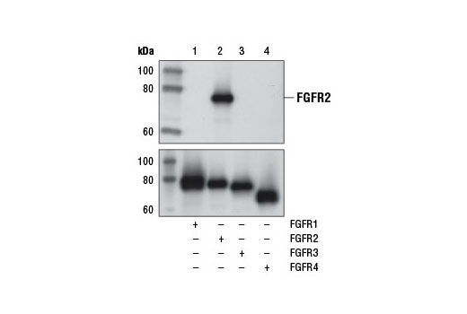 Western blot analysis of recombinant FGF Receptor 1, FGF Receptor 2, FGF Receptor 3, and FGF Receptor 4, as indicated, using FGF Receptor 2 (D4H9) Rabbit mAb (upper) or FGF Receptor 1 (D8E4) XP<sup>®</sup> Rabbit mAb #9740 (lane 1), FGF Receptor 2 (D4H9) Rabbit mAb (lane 2), FGF Receptor 3 (C51F2) Rabbit mAb #4574 (lane 3), and FGF Receptor 4 (D3B12) XP<sup>®</sup> Rabbit mAb #8562 (lane 4) (lower).