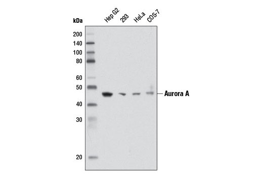 Western blot analysis of extracts from various cell lines using Aurora A (1F8) Mouse mAb.