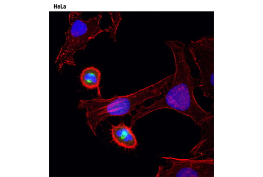 Confocal immunofluorescent analysis of HeLa cells using Aurora A (1F8) Mouse mAb (green). Actin filaments were labeled with DY-554 phalloidin (red). Blue pseudocolor = DRAQ5<sup>®</sup> #4084 (fluorescent DNA dye).