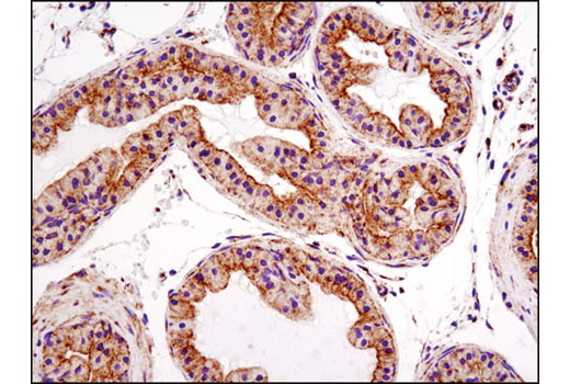 Immunohistochemical analysis of paraffin-embedded mouse prostate using Bak (D4E4) Rabbit mAb.