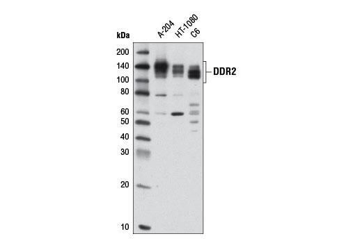 Polyclonal Antibody Western Blotting Collagen Binding