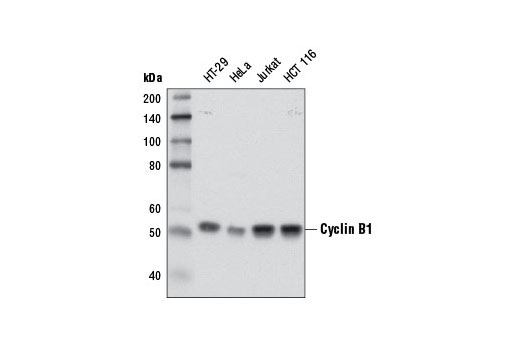 Western blot analysis of extracts from various cell lines using Cyclin B1 (D5C10) XP<sup>®</sup> Rabbit mAb.