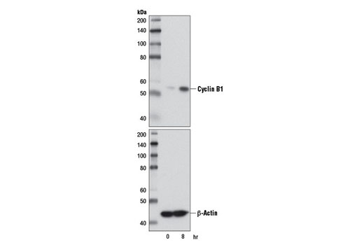 Western blot analysis of extracts from HT-29 cells, synchronized in S-phase by double thymidine block (2 nM, 16 hr) followed by release into fresh media for the indicated time, using Cyclin B1 (D5C10) XP<sup>®</sup> Rabbit mAb (upper) or β-Actin (D6A8) Rabbit mAb #8457 (lower).