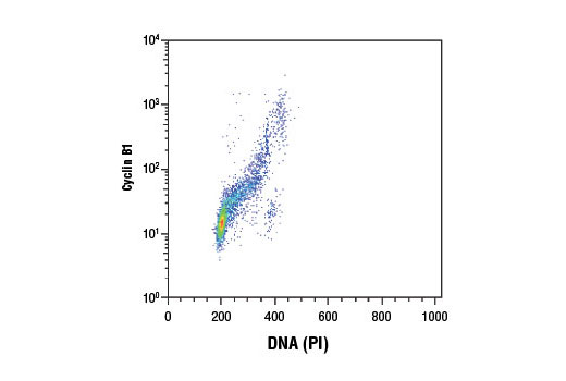 Flow cytometric analysis of Jurkat cells using Cyclin B1 (D5C10) XP<sup>®</sup> Rabbit mAb and Propidium Iodide (PI)/RNase Staining Solution #4087 (DNA content). Anti-rabbit IgG (H+L), F(ab')<sub>2</sub> Fragment (Alexa Fluor<sup>®</sup> 488 Conjugate) #4412 was used as a secondary antibody.