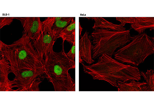Confocal immunofluorescent analysis of DLD-1 (positive, left) and HeLa (negative, right) cells using CDX2 (D11D10) Rabbit mAb (green). Actin filaments were labeled with DY-554 phalloidin (red).