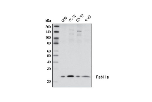 Western blot analysis of extracts from various cell lines using Rab11a Antibody.