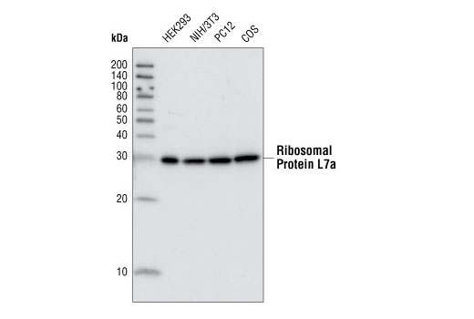 Western blot analysis of extracts from various cell lines using Ribosomal Protein L7a (E109) Antibody.