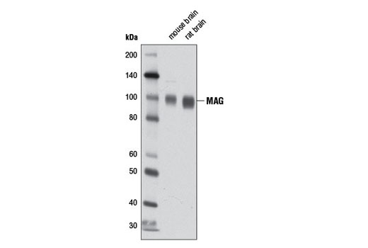 Monoclonal Antibody - MAG (D10H1) Rabbit mAb - Western Blotting, UniProt ID P20916, Entrez ID 4099 #12275, Mag
