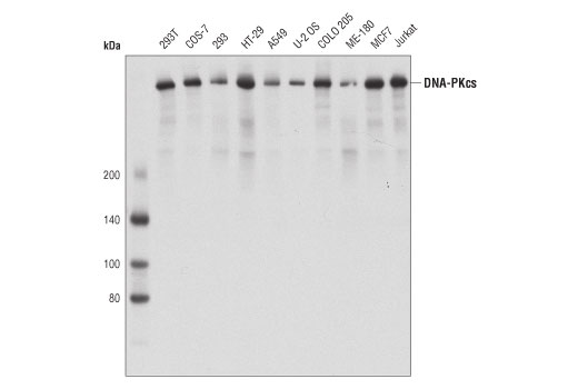 Western blot analysis of extracts from various cell lines using DNA-PKcs (3H6) Mouse mAb.