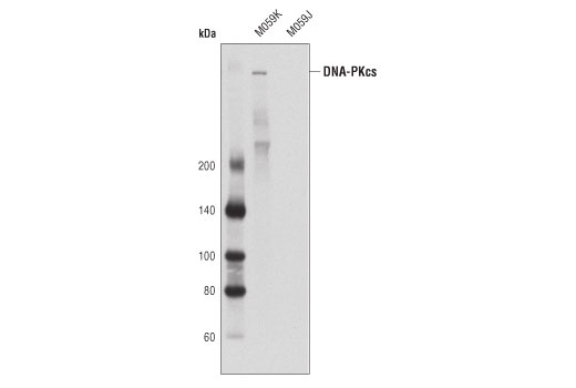 Western blot analysis of extracts from M059K (DNA-PKcs wild-type) and M059J (DNA-PKcs deficient) cells using DNA-PKcs (3H6) Mouse mAb.