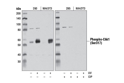 Western blot analysis of extracts from 293 and NIH/3T3 cells, untreated (-) or UV-treated (100 mJ, 1 hr recovery; +), using Phospho-Chk1 (Ser317) (D12H3) XP<sup>®</sup> Rabbit mAb. The blot on the right was treated with calf intestinal phosphatase (CIP) before western blot.
