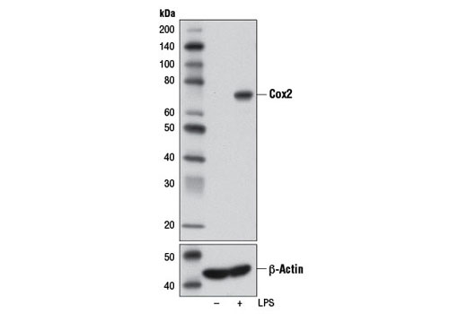 Rat Arachidonate 15-lipoxygenase Activity