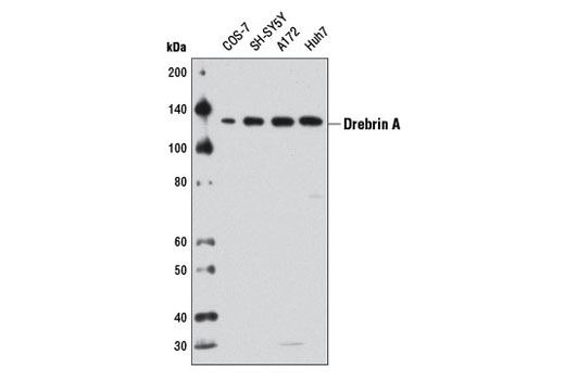 Western blot analysis of extracts from various cell lines using Drebrin A Antibody.