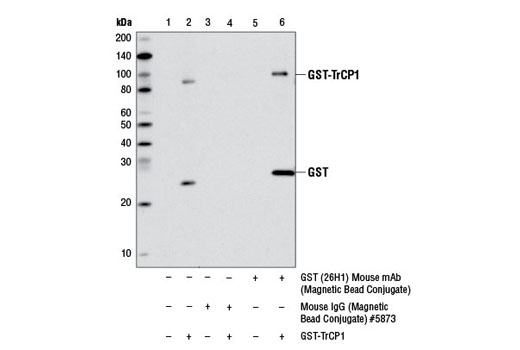 Monoclonal Antibody - GST (26H1) Mouse mAb (Magnetic Bead Conjugate) - 400 µl #11847 - #11847
