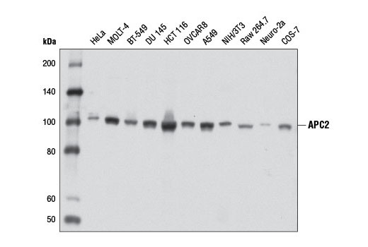 Polyclonal Antibody Immunoprecipitation Ubiquitin Protein Ligase Binding - count 20