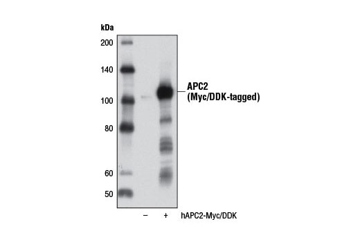 Western blot analysis of extracts from 293T cells, either mock transfected (-) or transfected with a construct expressing Myc/DDK-tagged full-length human APC2 (hAPC2-Myc/DDK; +), using APC2 Antibody.