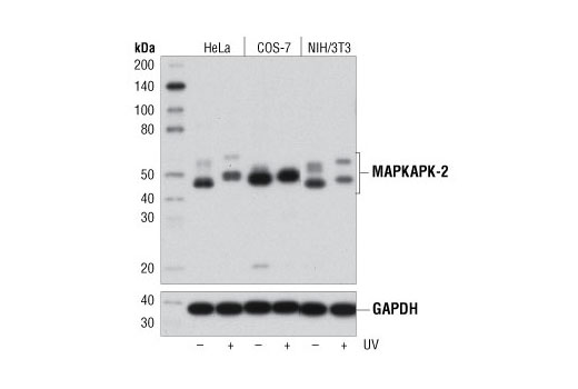 Western blot analysis of extracts from various cell lines, untreated (-) or treated with UV (40 mJ/cm<sup>2</sup>, 30 min recovery; +), using MAPKAPK-2 (D1E11) Rabbit mAb (upper) or GAPDH (D16H11) XP<sup>®</sup> Rabbit mAb #5174 (lower).