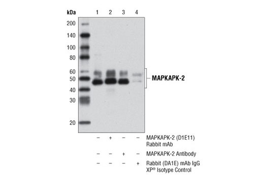 Immunoprecipitation of MAPKAPK-2 from HeLa cell extracts using MAPKAPK-2 (D1E11) Rabbit mAb (lane 2), MAPKAPK-2 Antibody #3042 (lane 3), or Rabbit (DA1E) mAb IgG XP<sup>®</sup> Isotype Control #3900 (lane 4). Lane 1 is 10% input. Western blot analysis was performed using MAPKAPK-2 (D1E11) Rabbit mAb. Mouse Anti-rabbit IgG (Conformation Specific) (L27A9) mAb #3678 was used as a secondary antibody.
