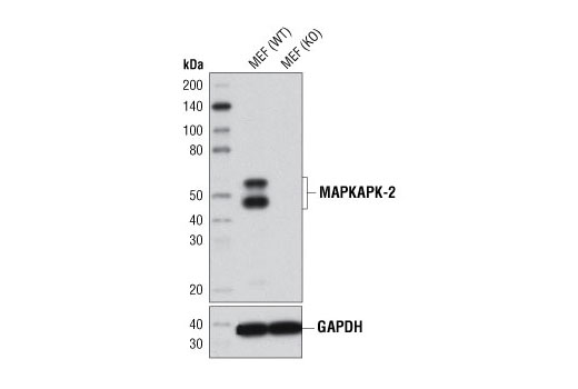 Western blot analysis of cell extracts from MAPKAPK-2 wild type (WT) and knockout (KO) mouse embryonic fibroblasts (MEF) using MAPKAPK-2 (D1E11) Rabbit mAb (upper) or GAPDH (D16H11) XP<sup>®</sup> Rabbit mAb #5174 (lower). MAPKAPK-2 WT and KO MEFs were generously provided by Drs. Sandra Morandell and Michael Yaffe, David H. Koch Institute for Integrative Cancer Research, Massachusetts Institute of Technology, Cambridge, MA.