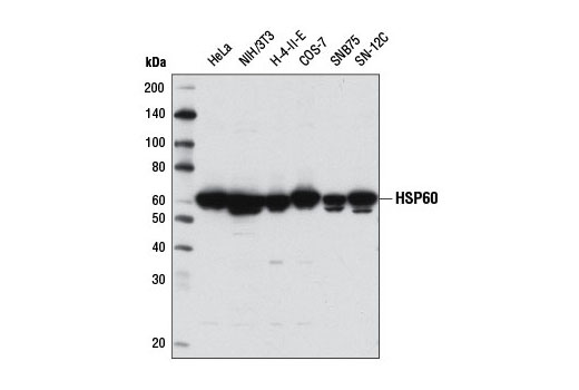 Western blot analysis of extracts from various cell lines using HSP60 (D6F1) XP<sup>®</sup> Rabbit mAb.