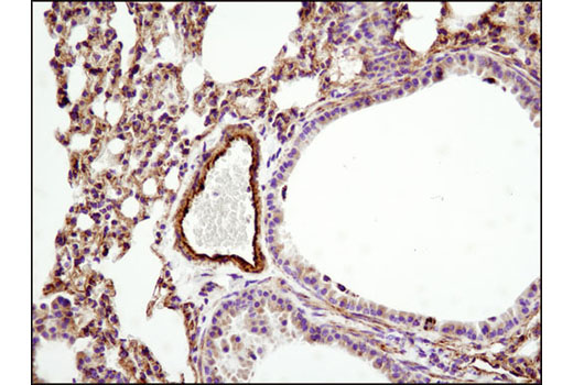 Immunohistochemical analysis of paraffin-embedded mouse lung using HSP60 (D6F1) XP<sup>®</sup> Rabbit mAb.