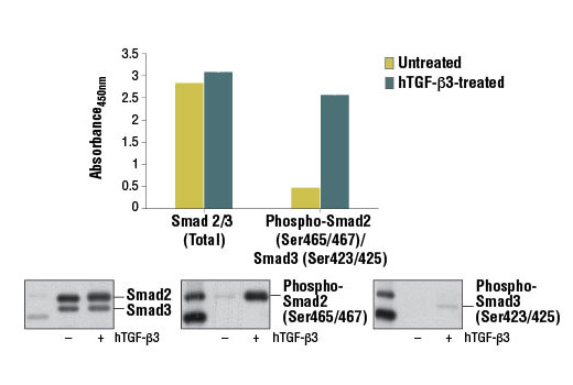 Figure 1. Treatment of HeLa cells with hTGF-β3 #8425 stimulates phosphorylation of Smad2 at Ser465/467 or Smad3 at Ser423/425, as detected by PathScan<sup>®</sup> Phospho-Smad2 (Ser465/467)/Smad3 (Ser423/425) Sandwich ELISA Kit #12001, but does not affect the level of total Smad2 or Smad3 protein detected by PathScan<sup>®</sup> Total Smad2/3 Sandwich ELISA Kit. The absorbance readings at 450 nm are shown in the top figure, while the corresponding western blots using Smad2/3 (D7G7) XP<sup>®</sup> Rabbit mAb #8685 (left panel), Phospho-Smad2 (Ser465/467) (138D4) Rabbit mAb #3108 (center panel), or a phospho-Smad3 (Ser423/425) Rabbit mAb (right panel) are shown in the bottom figure.