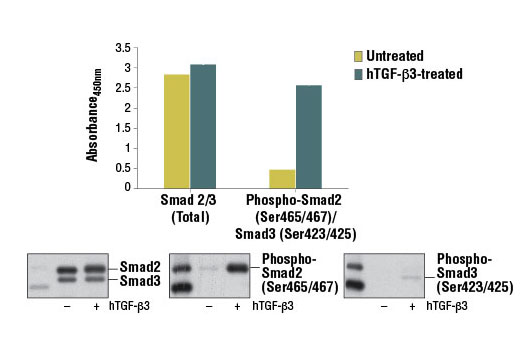 Figure 1. Treatment of HeLa cells with hTGF-β3 #8425 stimulates phosphorylation of Smad2 at Ser465/467 or Smad3 at Ser423/425, as detected by PathScan<sup>®</sup> Phospho-Smad2 (Ser465/467)/Smad3 (Ser423/425) Sandwich ELISA Kit, but does not affect the level of total Smad2 or Smad3 protein detected by PathScan<sup>®</sup> Total Smad2/3 Sandwich ELISA Kit #12000. The absorbance readings at 450 nm are shown in the top figure, while the corresponding western blots using Smad2/3 (D7G7) XP<sup>®</sup> Rabbit mAb #8685 (left panel), Phospho-Smad2 (Ser465/467) (138D4) Rabbit mAb #3108 (center panel), or a phospho-Smad3 (Ser423/425) Rabbit mAb (right panel) are shown in the bottom figure.