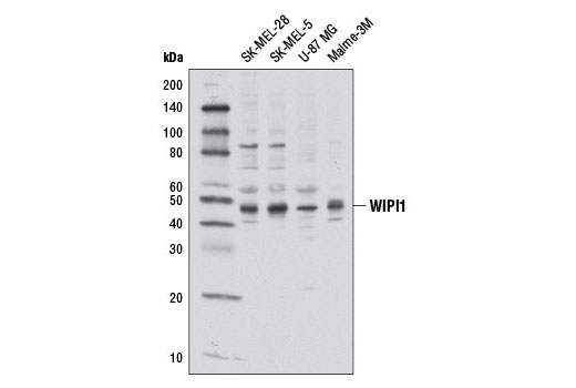 Western blot analysis of extracts from various cell lines using WIPI1 Antibody.