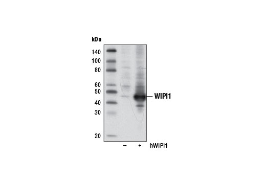 Western blot analysis of extracts from 293T cells, mock transfected (-) or transfected with a construct expressing human WIPI1 (hWIPI1; +), using WIPI1 Antibody.