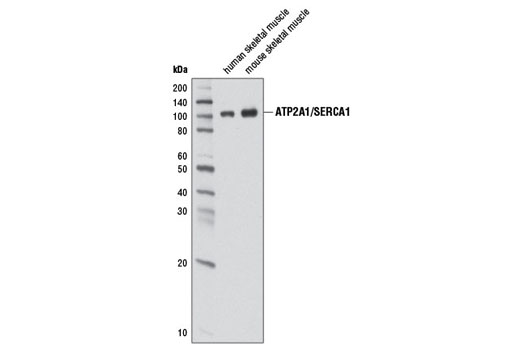 Monoclonal Antibody Striated Muscle Contraction