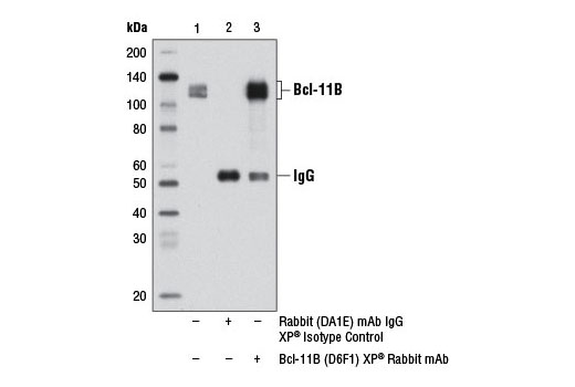 Immunoprecipitation Image 1: Bcl-11B (D6F1) XP® Rabbit mAb