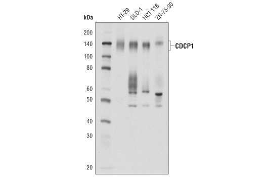 Monoclonal Antibody - CDCP1 (D8M5K) Rabbit mAb - Western Blotting, UniProt ID Q9H5V8, Entrez ID 64866 #12327, Cdcp1