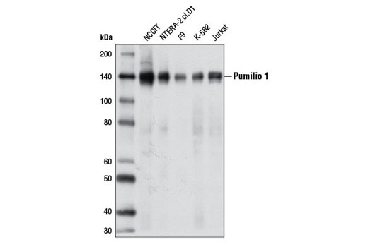 Western blot analysis of extracts from various cell lines using Pumilio 1 Antibody.