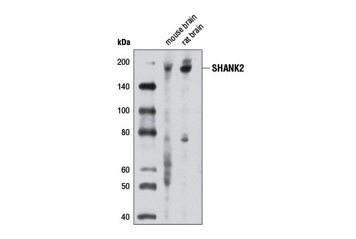 Mouse sh3 Domain Binding