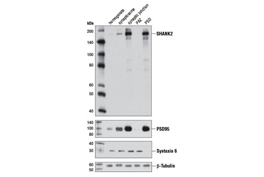 Western blot analysis of extracts from the indicated rat brain synaptic fractions using SHANK2 Antibody. Separation of the different synaptic fractions was confirmed using PSD95 (D27E11) XP<sup>®</sup> Rabbit mAb #3450 and Syntaxin 6 (C34B2) Rabbit mAb #2869. Equal loading of each fraction was assessed using β-Tubulin (9F3) Rabbit mAb #2128. Fractionation of the different synaptic compartments was carried out as described by Phillips, G.R. et al. (2001) Neuron 32, 63-77. PAZ, Pre-synaptic active zone.