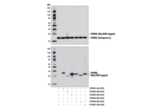 Monoclonal Antibody - PSMA2 (D3A4) Rabbit mAb - Western Blotting, UniProt ID P25787, Entrez ID 5683 #11864 - Ubiquitin and Ubiquitin-Like Proteins