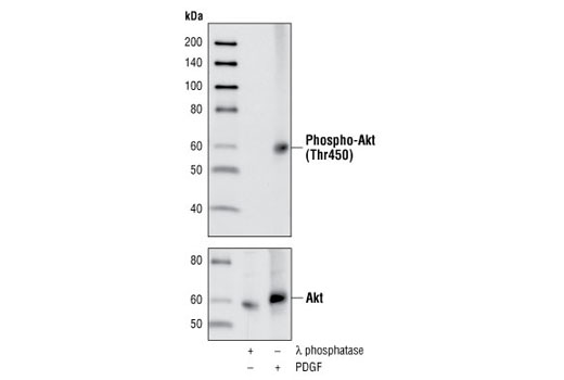 Polyclonal Antibody Immunoprecipitation Response to Heat