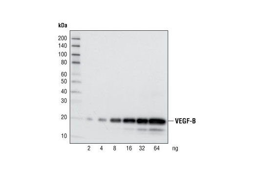 Western blot analysis of recombinant human VEGF-B proteins at various concentrations, using VEGF-B Antibody.