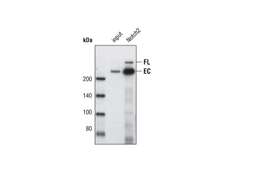 Immunoprecipitation of endogenous Notch2 from 8MGBA cell lysates using Notch2 (8A1) Rabbit mAb. Lane 1 contains lysate input and lane 2 was immunoprecipitated with Notch2 (8A1) Rabbit mAb. Western blot detection was performed using the same antibody.