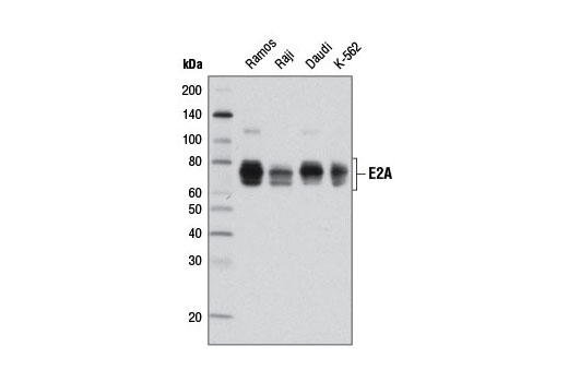 Western blot analysis of extracts from various cell lines using E2A (D2B1) Rabbit mAb.