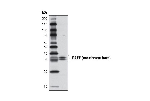 Western blot analysis of extracts from U-937 cells using BAFF (D7I1U) Rabbit mAb.