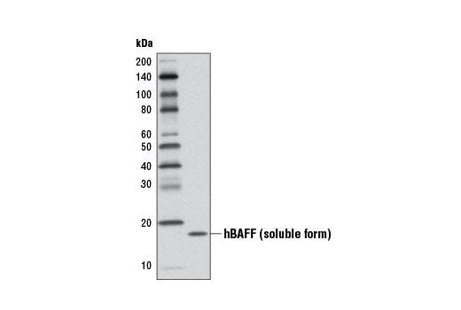 Western blot analysis of 1 ng recombinant Human BAFF/TNFSF13B (hBAFF) #5233 using BAFF (D7I1U) Rabbit mAb.