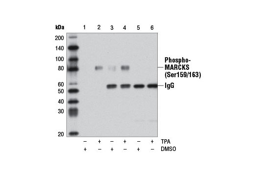 Immunoprecipitation of phospho-MARCKS (Ser159/163) from HeLa cells, either DMSO-treated or treated with TPA #4174 (200 nM, 15 min), using Phospho-MARCKS (Ser159/163) (D13D2) Rabbit mAb (lanes 3 and 4) or MARCKS (D88D11) XP<sup>®</sup> Rabbit mAb #5607 (lanes 5 and 6). Lanes 1 and 2 represent 10% of input lysate for each treatment. Western blot analysis was performed using MARCKS (D88D11) XP<sup>® </sup>Rabbit mAb #5607. Note: MARCKS (D88D11) XP<sup>®</sup> Rabbit mAb #5607 does not immunoprecipitate phospho-MARCKS (Ser159/163) and was used as a negative control.