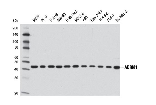 Western blot analysis of extracts from various cell lines using ADRM1 (D9Z1U) Rabbit mAb.