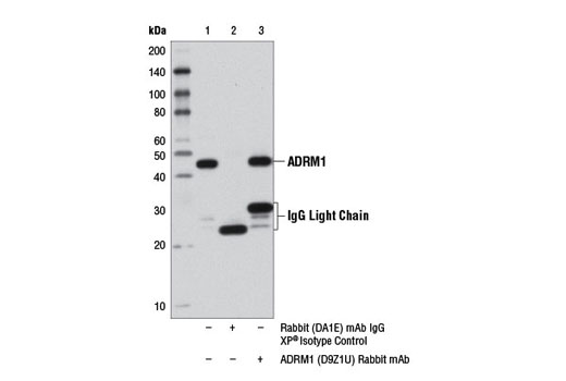 Immunoprecipitation of ADRM1 from 293T cell extracts using Rabbit (DA1E) mAb IgG XP<sup>® </sup>Isotype Control #3900 (lane 2) or ADRM1 (D9Z1U) Rabbit mAb (lane 3). Lane 1 is 10% input. Western blot detection was performed using ADRM1 (D9Z1U) Rabbit mAb.