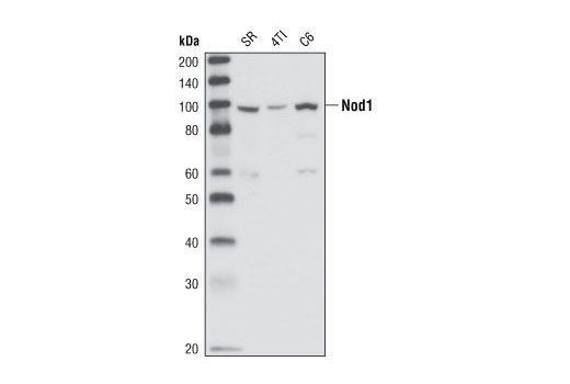 Western blot analysis of extracts from SR (human), 4T1 (mouse) and C6 (rat) cell lines using Nod1 Antibody.