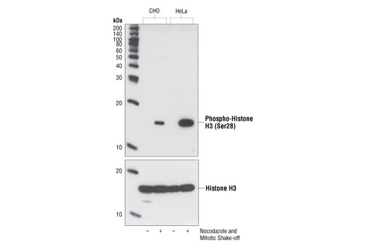 Phospho-Histone H3 (Mitotic Marker) Antibody Sampler Kit - 1 Kit #9849