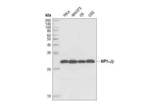 Western blot analysis of lysates from HeLa, NIH/3T3, C6 and COS cells using HP1 α (C7F11) Rabbit mAb.