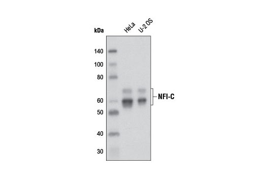Western blot analysis of extracts from HeLa and U-2 OS cells using NFI-C Antibody.