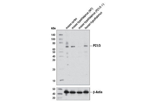 Western blot analysis of extracts from mouse cortex, wild-type (WT) and PC1/3 (-/-) mouse hypothalamus, and human hypothalamus using PC1/3 Antibody (upper) or β-Actin (D6A8) Rabbit mAb #8457 (lower). Tissues from WT and PC1/3 (-/-) mice were kindly provided by Dr. Robert Day (University of Sherbrooke, Quebec, Canada).